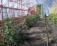 commercial tomato production 1