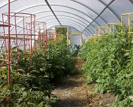 commercial tomato production growing 2
